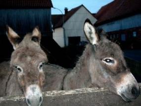 Esel-Trekking-Tour in Alsfeld-Lingelbach, Raum Fulda - Erlebnis Geschenke