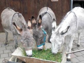 Esel-Trekking-Tour in Quering, Raum Leipzig in Sachsen - Erlebnis Geschenke