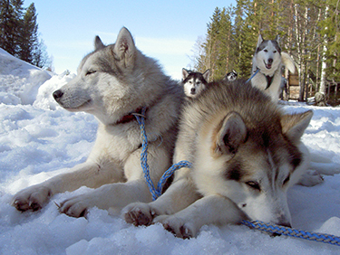 Husky-Wanderung - Erlebnisse-husky-wanderung - Einmalige Erlebnisse